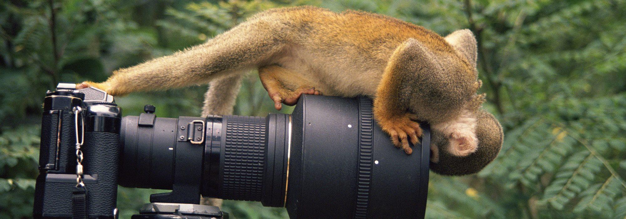 Squirrel monkey {Saimiri sciureus} investigates camera, Amazonia, Ecuador